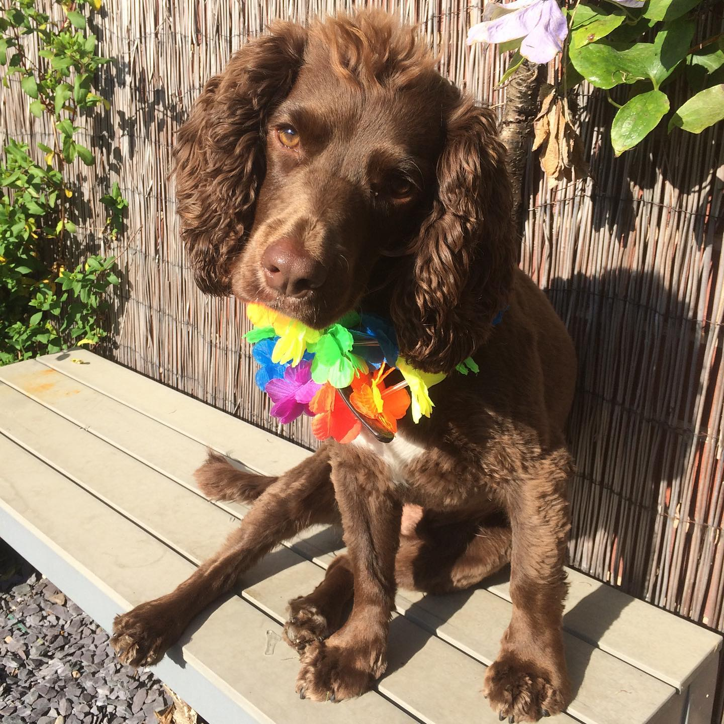 Chocolate Brown Spaniel supporting LGBTQIA+ Pride!